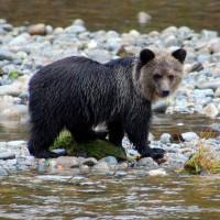 Artikelangebot: Schwarz, Weiß und Grizzly – Bear Watching in Kanada!